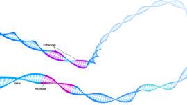 «Estamos comenzando a vislumbrar una regulación génica en tres dimensiones»