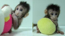 ¿Por qué se han clonado dos macacos?