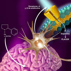 La nicotina cambia la respuesta del cerebro al alcohol
