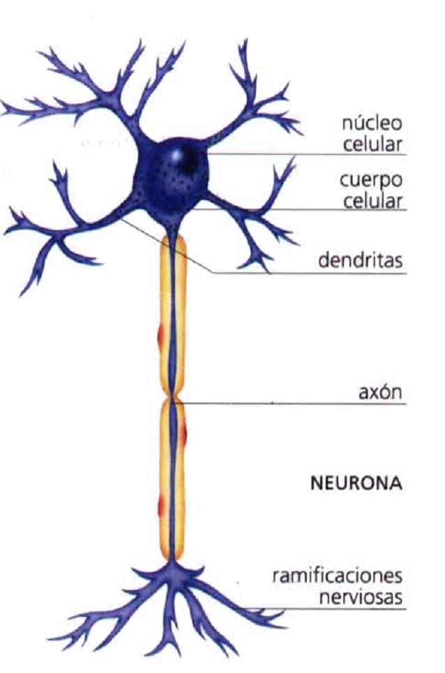 Los golpes en la cabeza rompen las neuronas | Cosas del cerebro