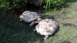 Una tortuga gigante logró salvar a su compañera