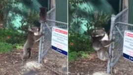 Una mamá koala rescata a su cría y conmueve a las redes sociales