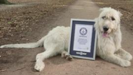 Keon, el perro con la cola más larga del mundo