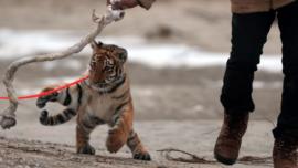 La pareja que tiene un tigre en su casa