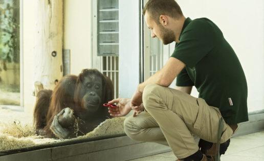El orangután que juega al Spinner