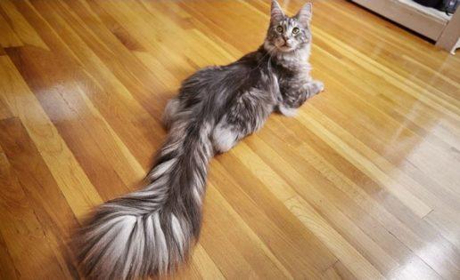 Este es el gato con la cola más larga del mundo