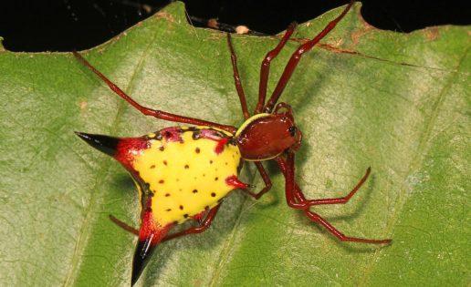 Encuentran una araña que se parece a Pikachu