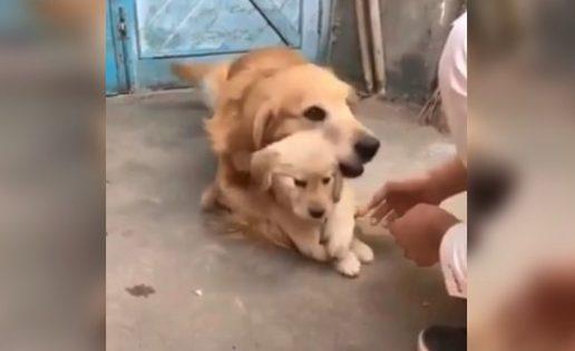 La tierna reacción de una Golden Retriever para proteger a su cachorro