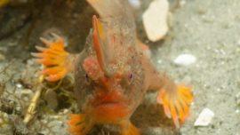 Descubren en Australia peces que caminan en lugar de nadar
