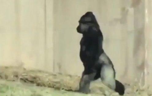El gorila que camina como un humano