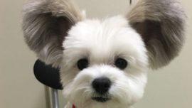 Goma, el perro con orejas de Mickey Mouse