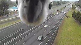 La curiosa reacción de una cacatúa al ver una cámara de tráfico