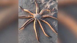 Encuentran inusual estrella de mar en una playa de Florida