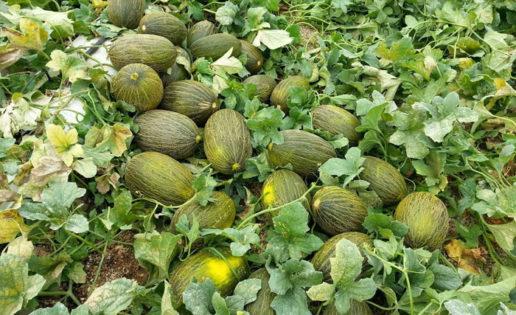 El melón, fresquito y bajo en calorías
