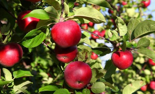 Fruta verde Vs. Fruta madura ¿Cuál es mejor?