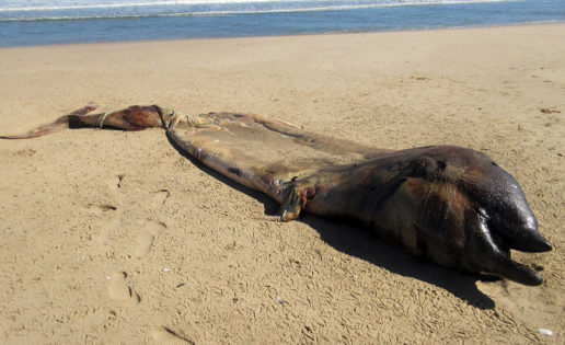 La extraña criatura marina aparecida en Namibia