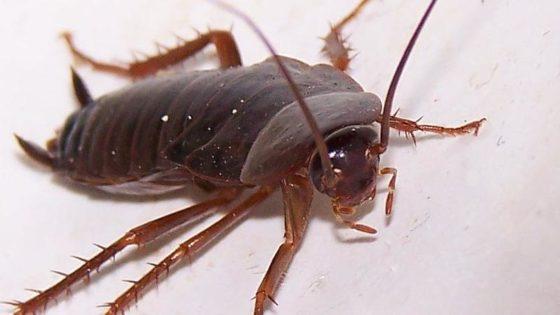 Cucaracha Deutsch