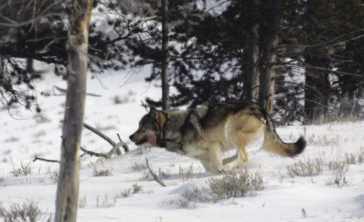 Cómo puede una manada de lobos cambiar el curso de un río