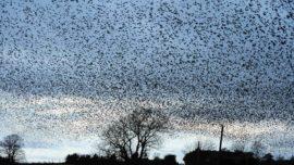 Murmuraciones de los estorninos: una nube de 50.000 pájaros en el cielo