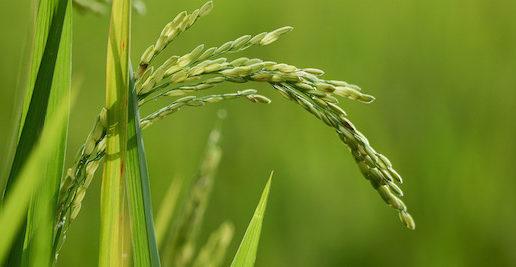 Silken Oil, un revolucionario aceite de germen de arroz