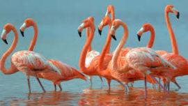 El caroteno que da color a los flamencos, salmones o cangrejos previene el daño solar