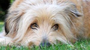 Eslalon canino