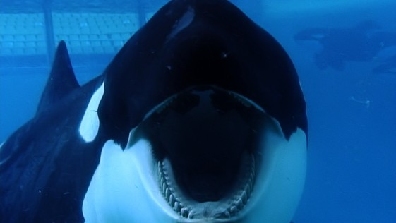 Blackfish, el documental de la orca asesina, llega (finalmente) a Madrid