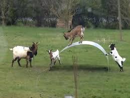 El juego de las cabras equilibristas que enloquece a la Red