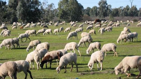 Un pastor encuentra drogadas a sus ovejas; comieron marihuana
