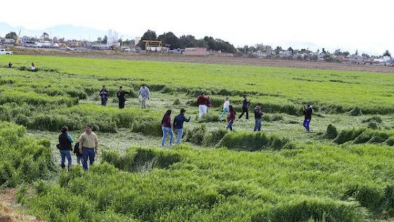Misterio por las extrañas figuras en cultivos de México