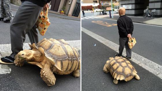 La persona con más paciencia del mundo, pasea una tortuga