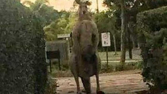 Canguro gigante de 2 metros atemoriza a un barrio de Australia