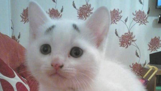 Nace un gato con cejas y con una expresión de preocupado