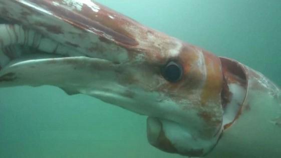 Alucinante calamar gigante en las costas de Japón