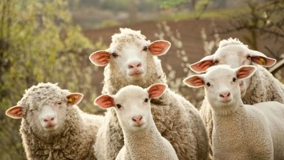 Un rebaño de ovejas siembra el caos tras haber comido marihuana