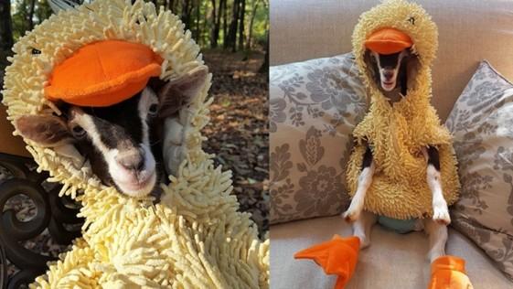 La cabra con ansiedad que solo se calma con su disfraz de pato