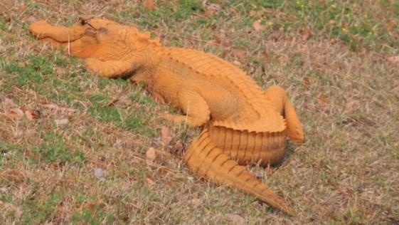 Aparece un caimán naranja en Carolina del Sur