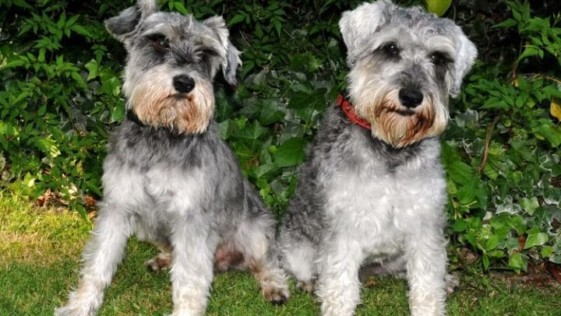 Dos perros desaparecen durante 96 horas y regresan al oler a sus dueños cocinar salchichas