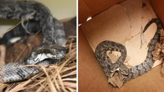 Aparece una serpiente de cascabel de dos cabezas en Arkansas