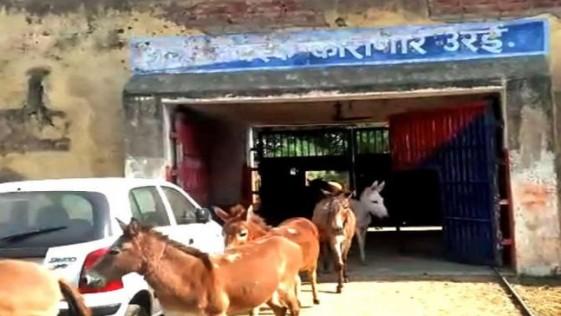 Ocho burros son detenidos en la India por comer flores