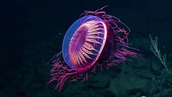Descubren extraña medusa que brilla como los fuegos artificiales