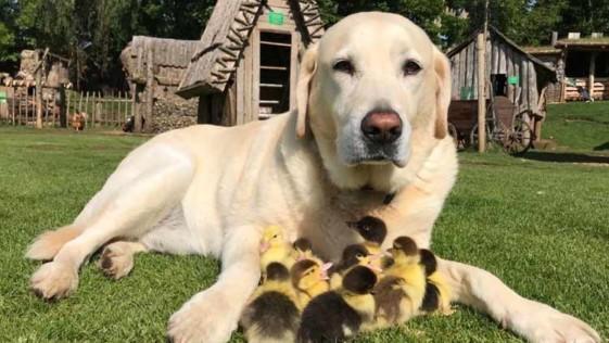 Un perro labrador adopta a 9 patitos huérfanos