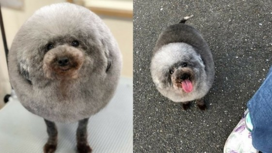 El cambio de look de un perro asombra a las redes sociales