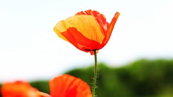 Semillas de amapola, un papel importante en la medicina natural