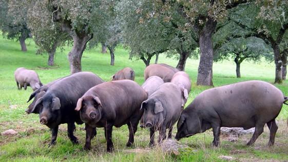 Si a la carne de cerdo