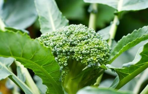 El brócoli, verdura de temporada antienvejecimiento