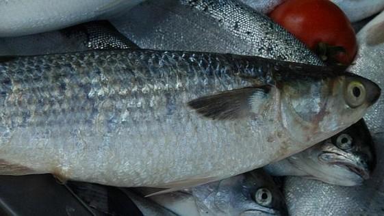 ¿Por qué los peces machos se vuelven hembras en las costas vascas?