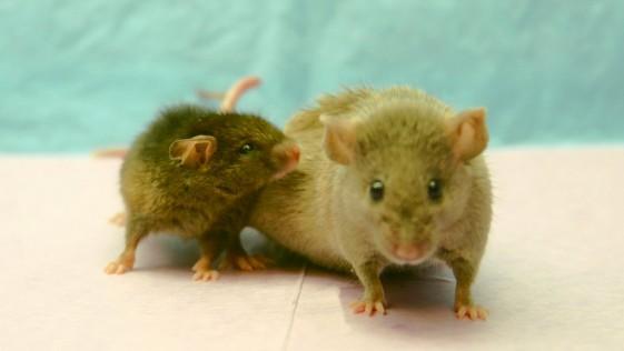 Descubren en el cerebro de roedores el interruptor del envejecimiento
