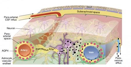 """¿Y si lo que falla en el cerebro con alzhéimer es la recogida de """"basura""""?"""