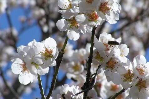 ¿Por qué florecen ahora los almendros?